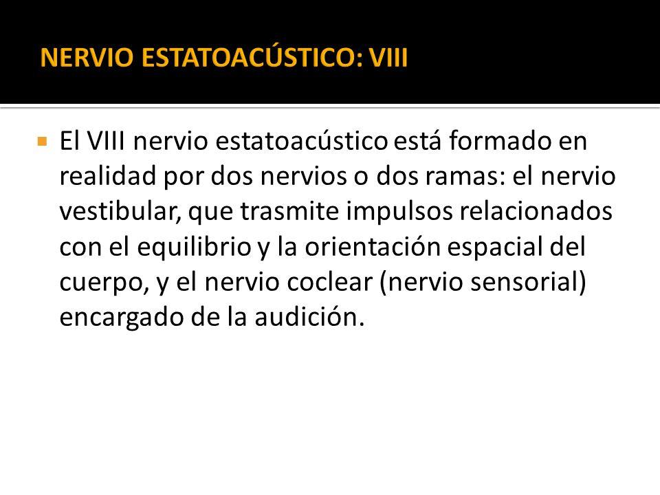 El VIII nervio estatoacústico está formado en realidad por dos nervios o dos ramas: el nervio vestibular, que trasmite impulsos relacionados con el eq