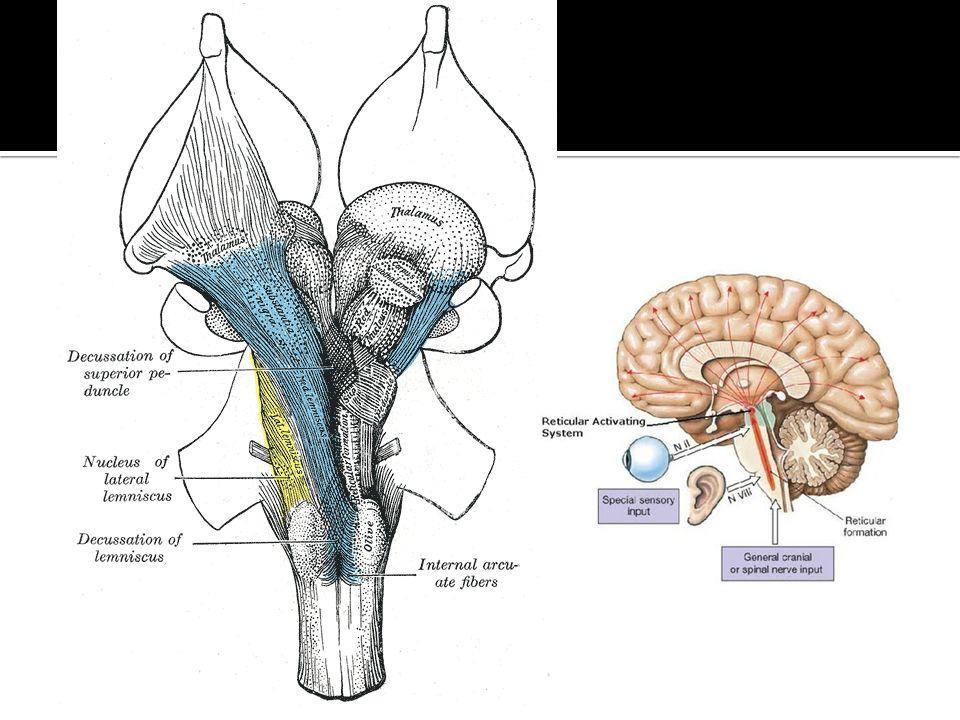 Formacion reticular mesencefálica Nucleos mesencefálicos Nucleor talámicos intralaminares Hipotálamo dorsal Tegmentum El SRA consiste en áreas evolutivamente antiguas cruciales para la supervivencia y protegidas durante periodos de adversidad