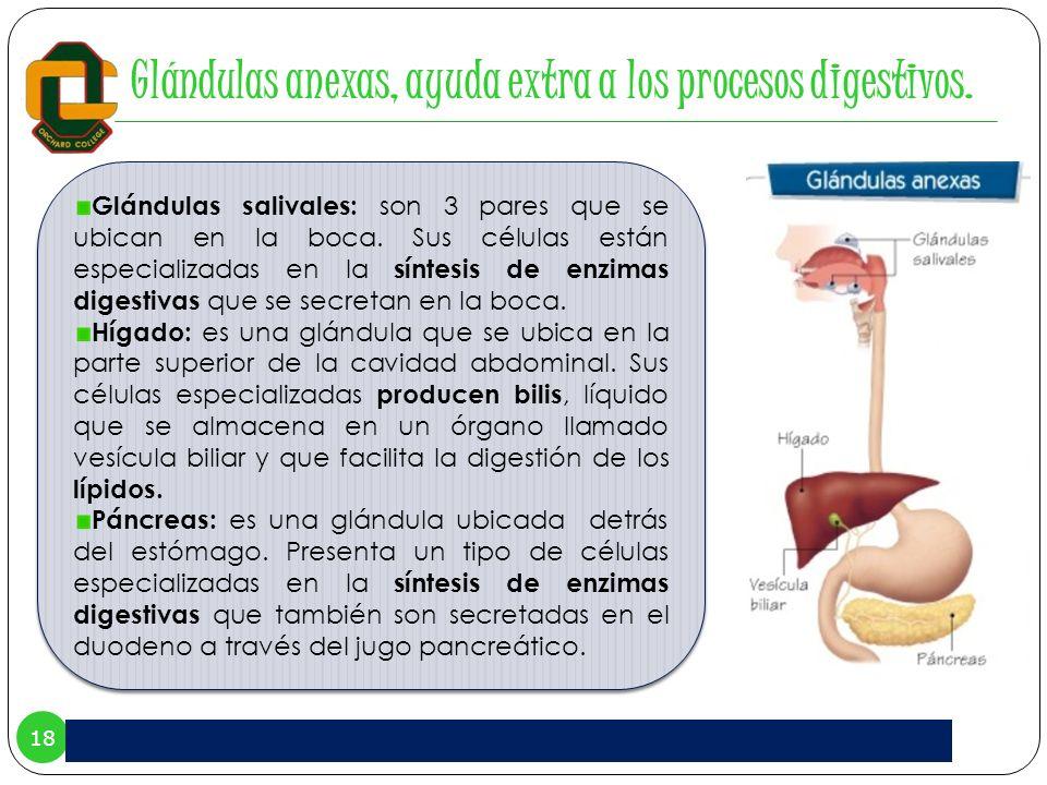 18 Glándulas anexas, ayuda extra a los procesos digestivos. Glándulas salivales: son 3 pares que se ubican en la boca. Sus células están especializada