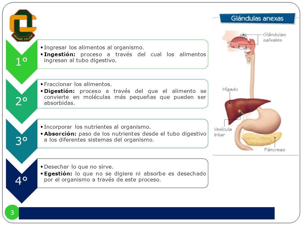 3 1° Ingresar los alimentos al organismo. Ingestión: proceso a través del cual los alimentos ingresan al tubo digestivo. 2° Fraccionar los alimentos.