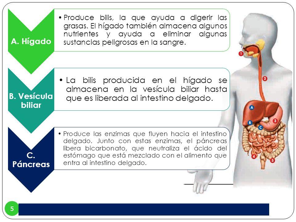 5 A. Hígado Produce bilis, la que ayuda a digerir las grasas. El hígado también almacena algunos nutrientes y ayuda a eliminar algunas sustancias peli