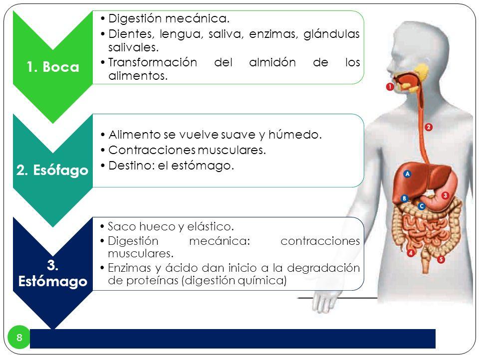 8 1. Boca Digestión mecánica. Dientes, lengua, saliva, enzimas, glándulas salivales. Transformación del almidón de los alimentos. 2. Esófago Alimento