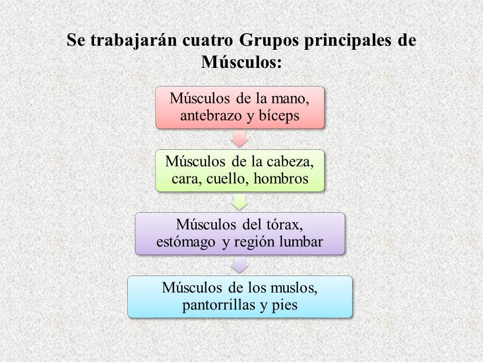 Se trabajarán cuatro Grupos principales de Músculos: