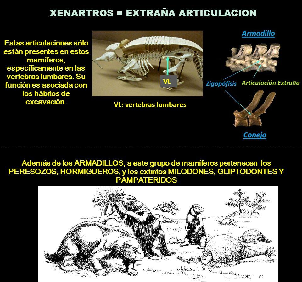 VL VL: vertebras lumbares XENARTROS = EXTRAÑA ARTICULACION Estas articulaciones sólo están presentes en estos mamíferos, específicamente en las verteb