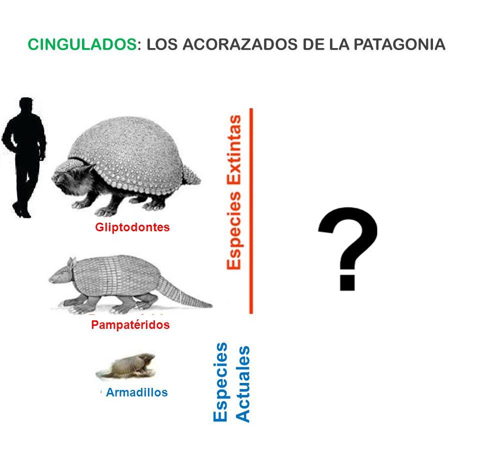 Gliptodontes Pampatéridos Armadillos Especies Actuales CINGULADOS: LOS ACORAZADOS DE LA PATAGONIA