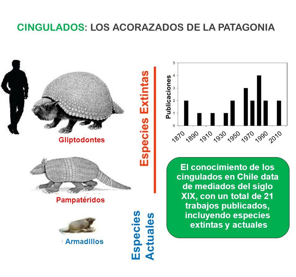 Gliptodontes Pampatéridos Armadillos Especies Actuales CINGULADOS: LOS ACORAZADOS DE LA PATAGONIA 18701890191019301950197019902010 El conocimiento de