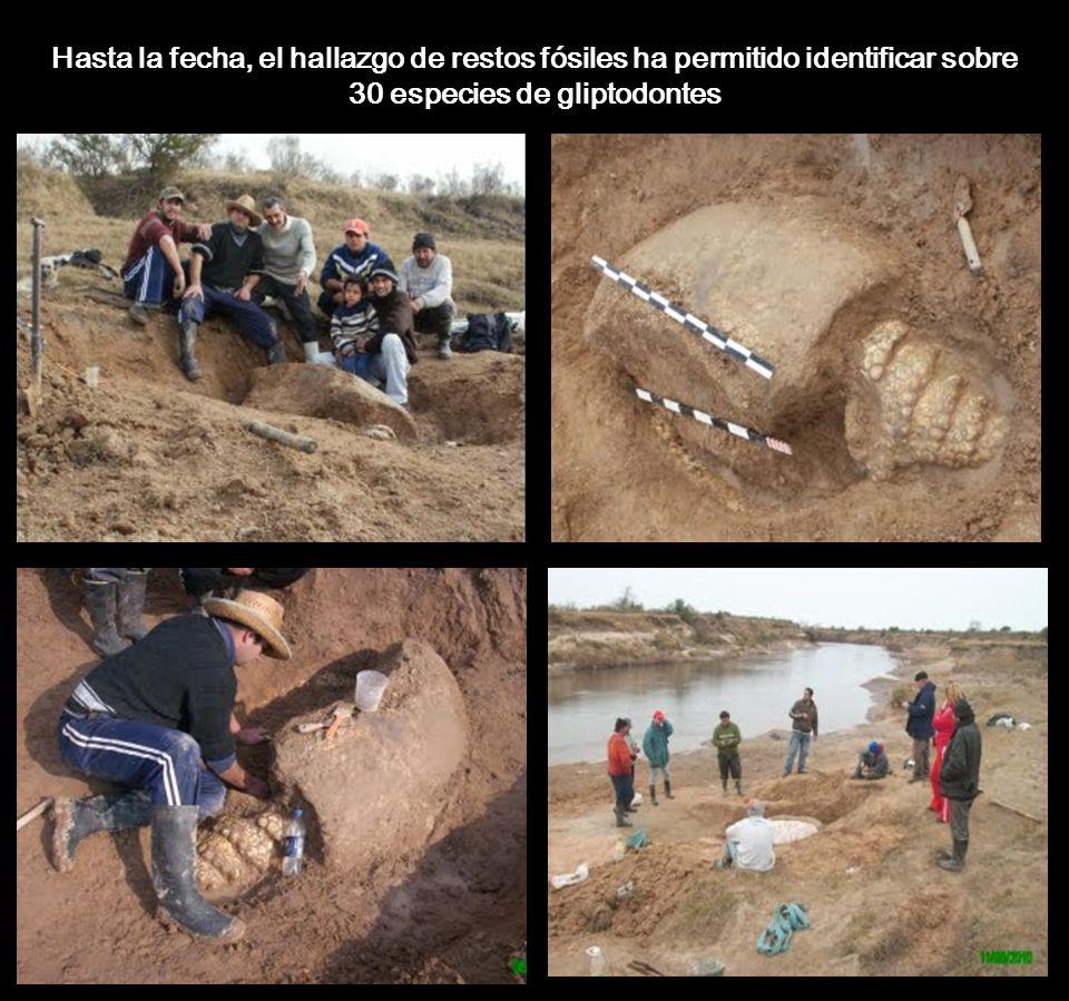 Hasta la fecha, el hallazgo de restos fósiles ha permitido identificar sobre 30 especies de gliptodontes