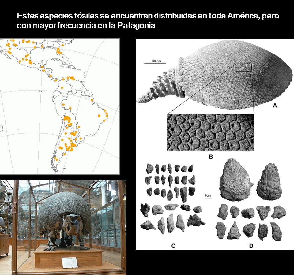 Estas especies fósiles se encuentran distribuidas en toda América, pero con mayor frecuencia en la Patagonia