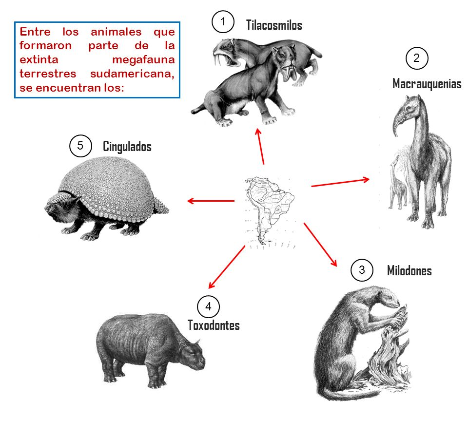 Milodones Macrauquenias Tilacosmilos Toxodontes Entre los animales que formaron parte de la extinta megafauna terrestres sudamericana, se encuentran l