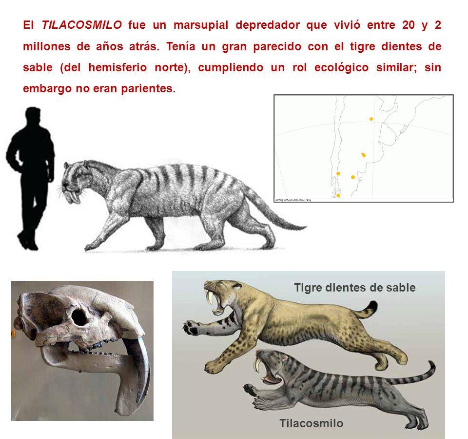 El TILACOSMILO fue un marsupial depredador que vivió entre 20 y 2 millones de años atrás. Tenía un gran parecido con el tigre dientes de sable (del he