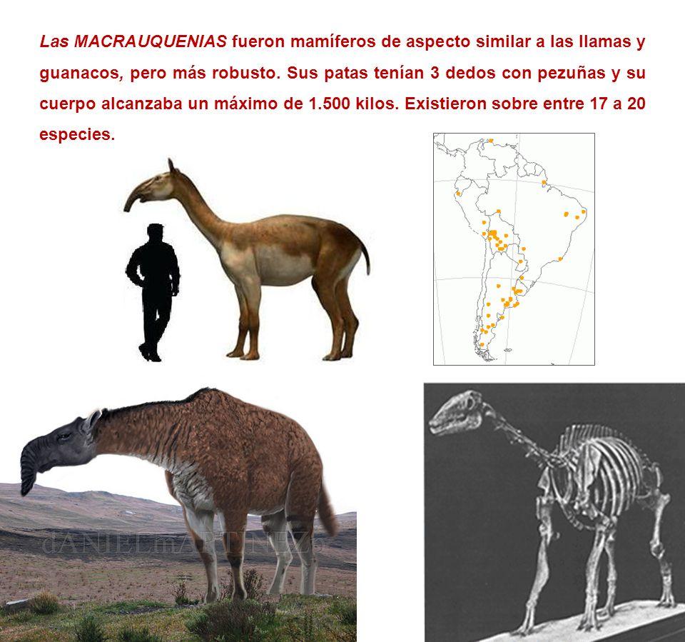 Las MACRAUQUENIAS fueron mamíferos de aspecto similar a las llamas y guanacos, pero más robusto. Sus patas tenían 3 dedos con pezuñas y su cuerpo alca