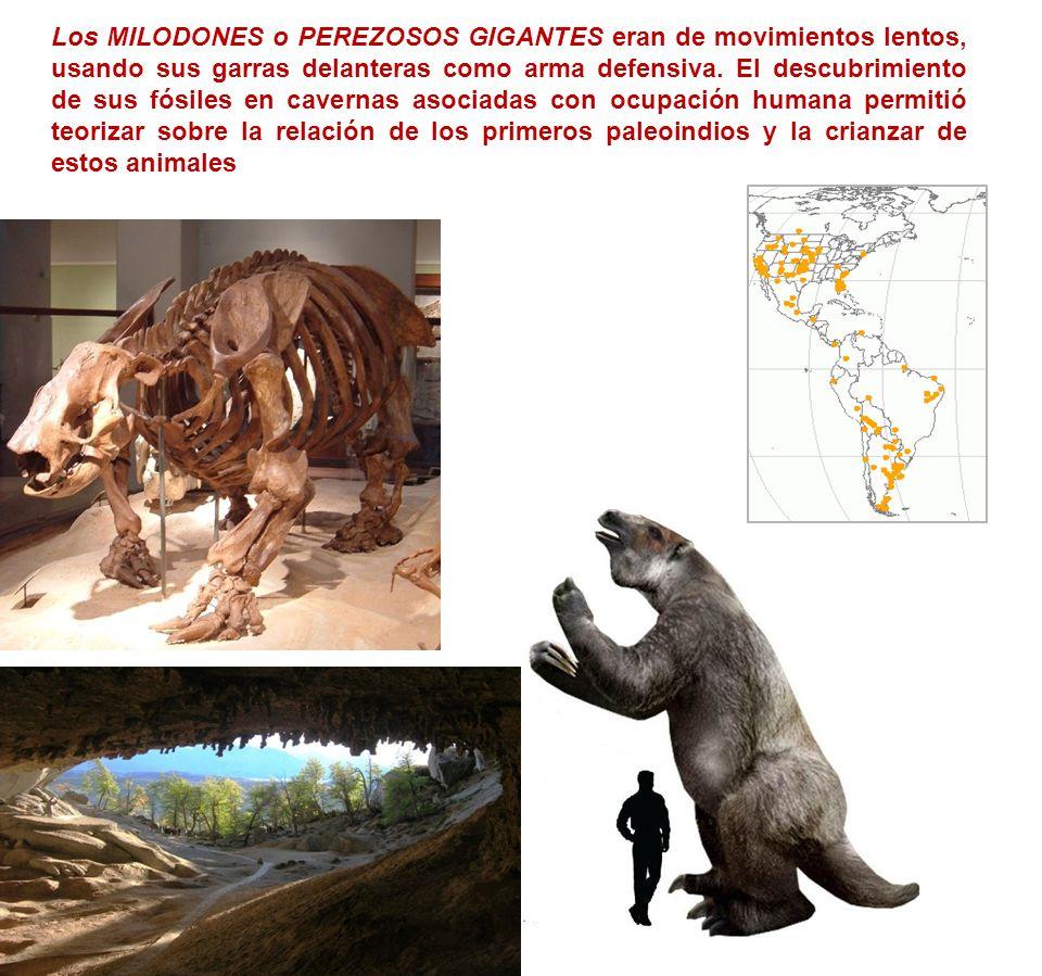 Los MILODONES o PEREZOSOS GIGANTES eran de movimientos lentos, usando sus garras delanteras como arma defensiva. El descubrimiento de sus fósiles en c