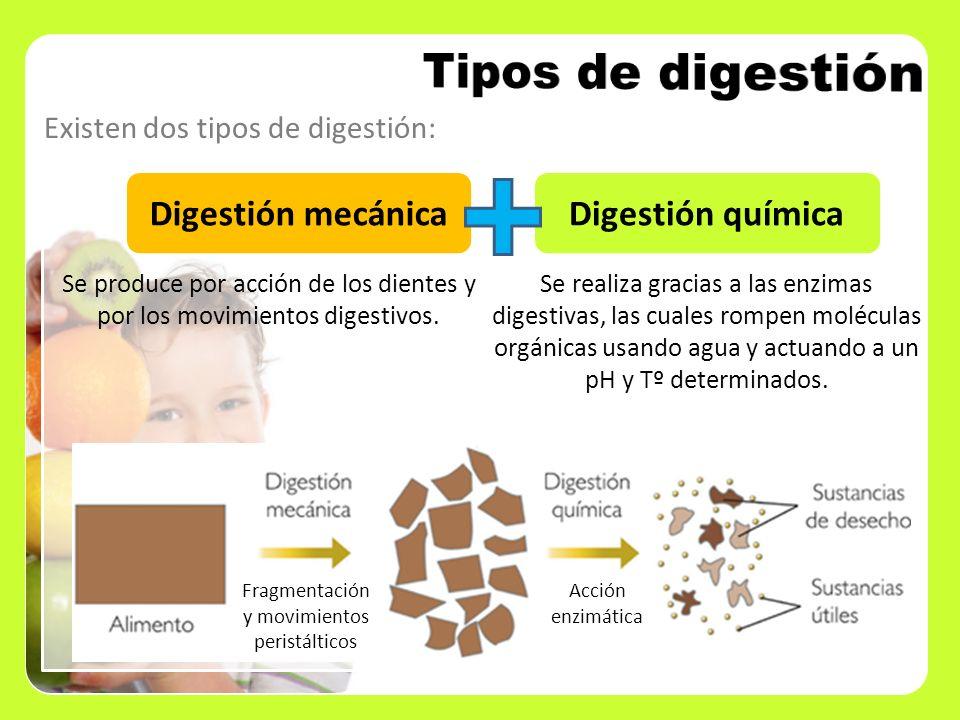 Existen dos tipos de digestión: Digestión mecánicaDigestión química Fragmentación y movimientos peristálticos Acción enzimática Se produce por acción