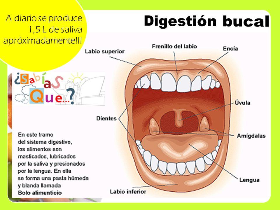 A diario se produce 1,5 L de saliva apróximadamente!!!
