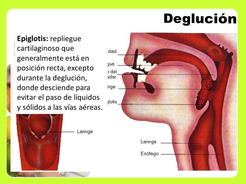 Epiglotis: repliegue cartilaginoso que generalmente está en posición recta, excepto durante la deglución, donde desciende para evitar el paso de líqui