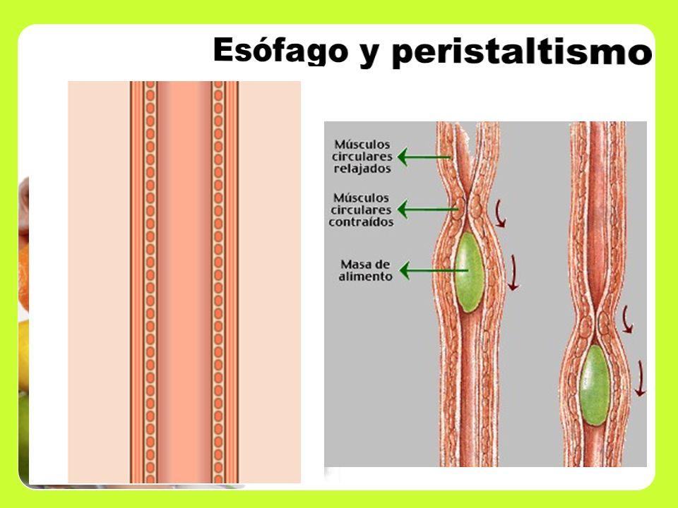 El esófago es un tubo muscular en el que no ocurre digestión del bolo alimenticio, sólo el paso de él y la propulsión hasta el estómago, gracias a los