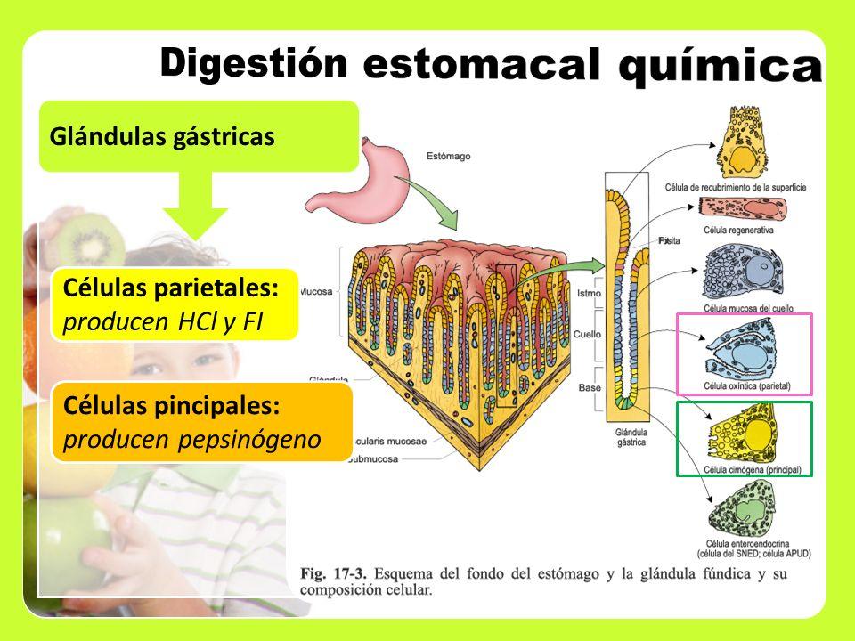 Glándulas gástricas Células parietales: producen HCl y FI Células pincipales: producen pepsinógeno