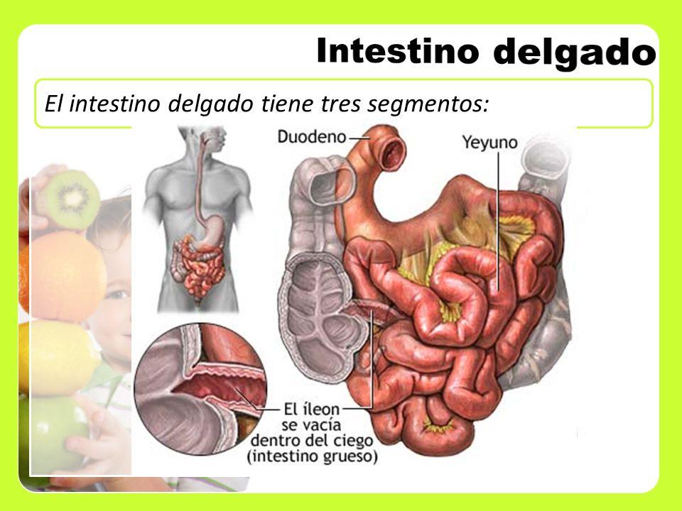 Duodeno Yeyuno Íleon El intestino delgado tiene tres segmentos: