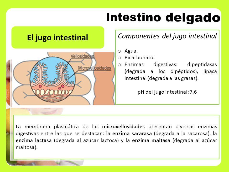 El jugo intestinal La membrana plasmática de las microvellosidades presentan diversas enzimas digestivas entre las que se destacan: la enzima sacarasa