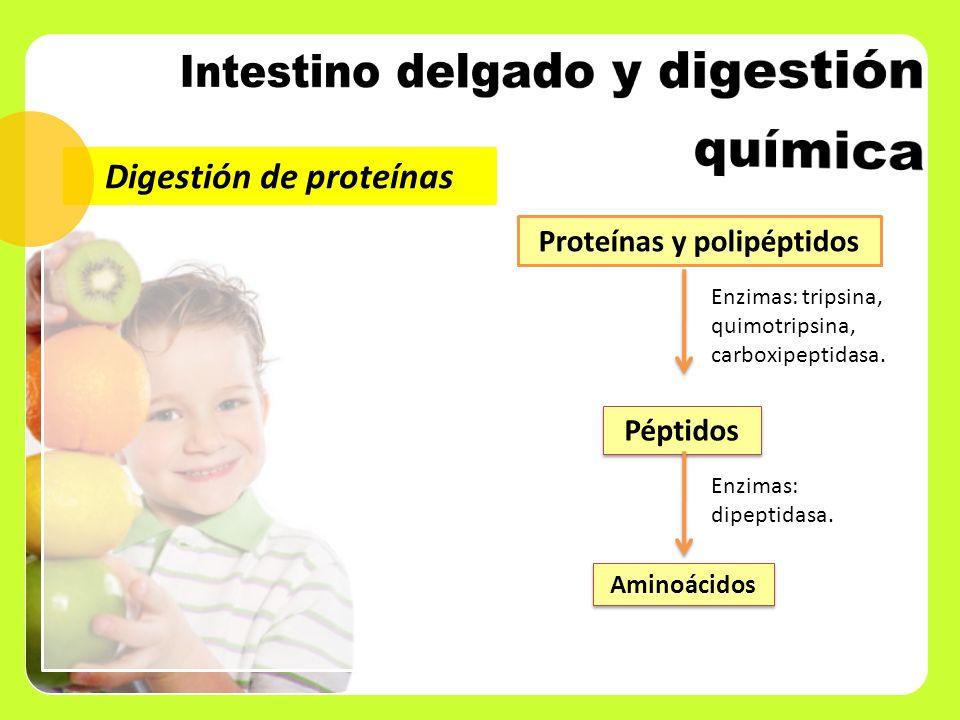 Digestión de proteínas Proteínas y polipéptidos Péptidos Enzimas: tripsina, quimotripsina, carboxipeptidasa. Aminoácidos Enzimas: dipeptidasa.