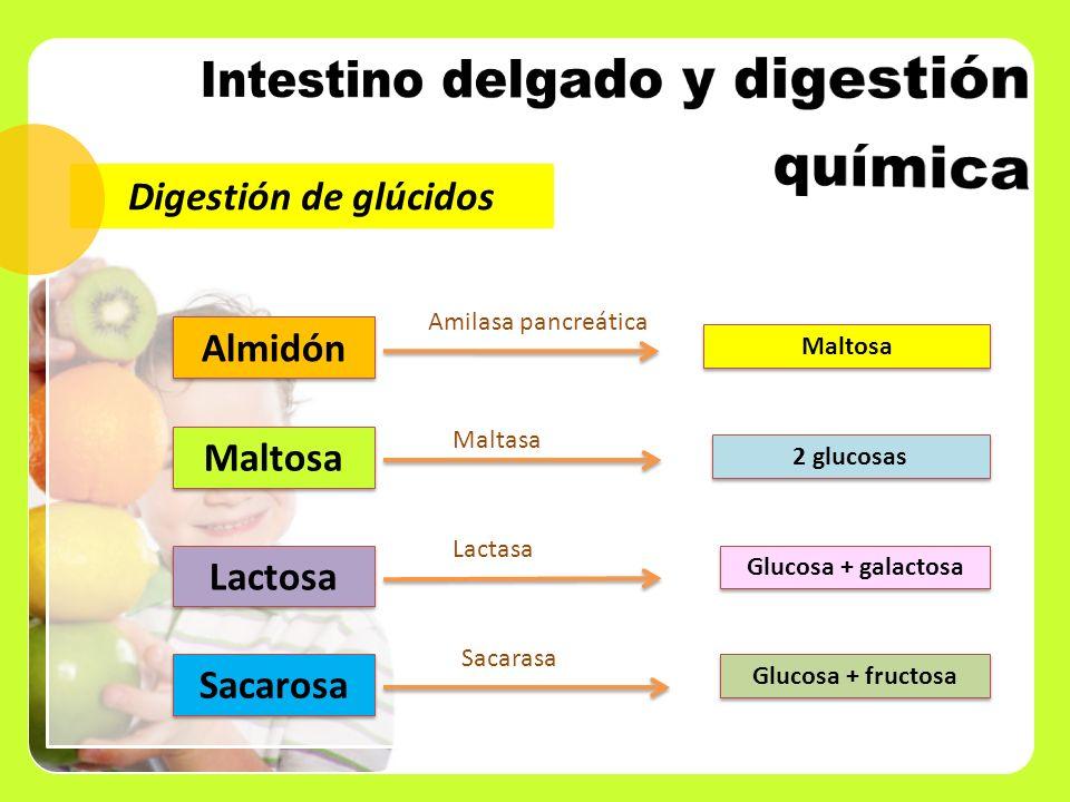 Digestión de glúcidos Maltosa Amilasa pancreática Maltosa 2 glucosas Maltasa Lactosa Glucosa + galactosa Lactasa Sacarosa Glucosa + fructosa Sacarasa