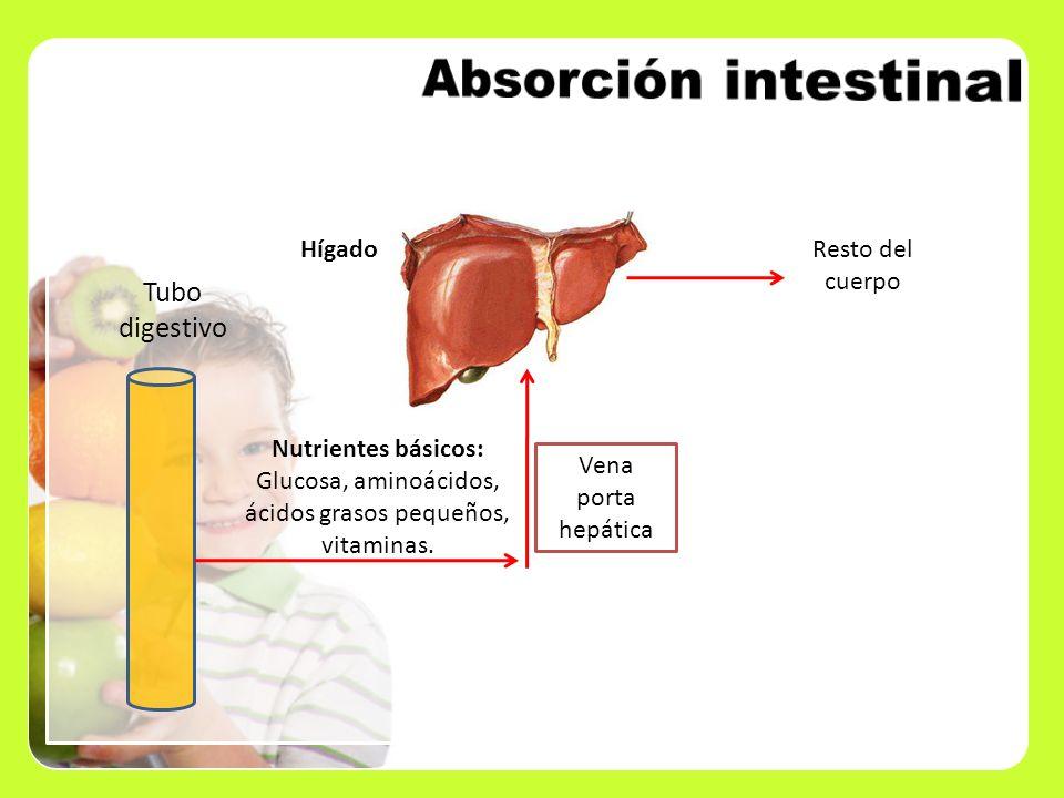 Nutrientes básicos: Glucosa, aminoácidos, ácidos grasos pequeños, vitaminas. Tubo digestivo Hígado Vena porta hepática Resto del cuerpo