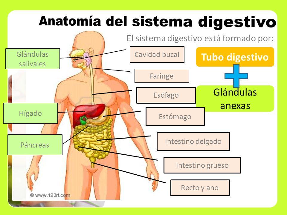 El sistema digestivo está formado por: Tubo digestivo Glándulas anexas Cavidad bucal Esófago Estómago Intestino delgado Intestino grueso Recto y ano G
