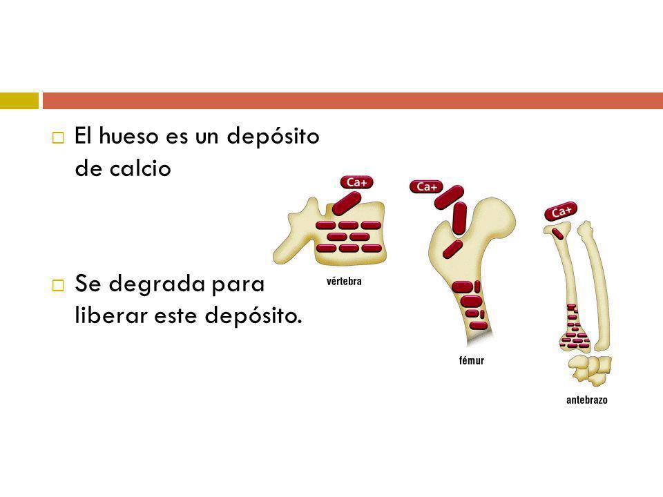 El hueso es un depósito de calcio Se degrada para liberar este depósito.