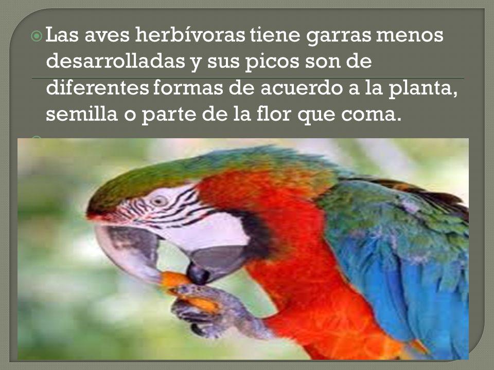 Las aves herbívoras tiene garras menos desarrolladas y sus picos son de diferentes formas de acuerdo a la planta, semilla o parte de la flor que coma.