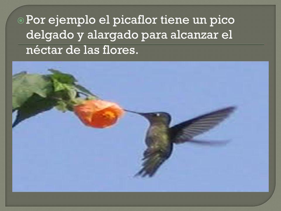 Por ejemplo el picaflor tiene un pico delgado y alargado para alcanzar el néctar de las flores.