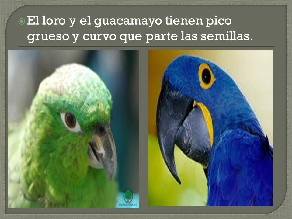 El loro y el guacamayo tienen pico grueso y curvo que parte las semillas.