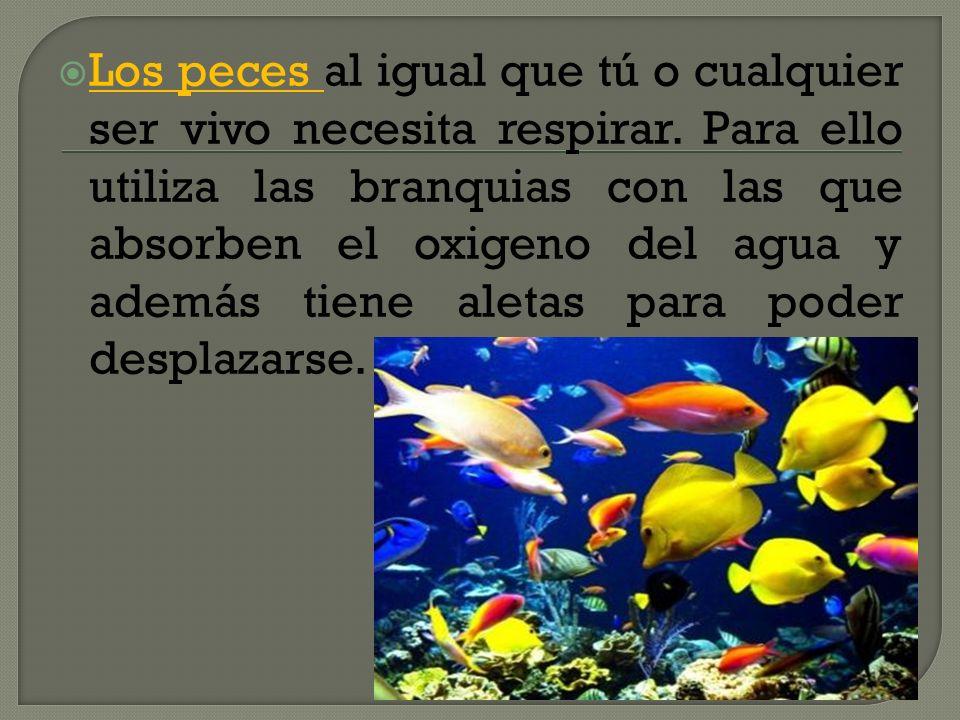 Los peces al igual que tú o cualquier ser vivo necesita respirar. Para ello utiliza las branquias con las que absorben el oxigeno del agua y además ti