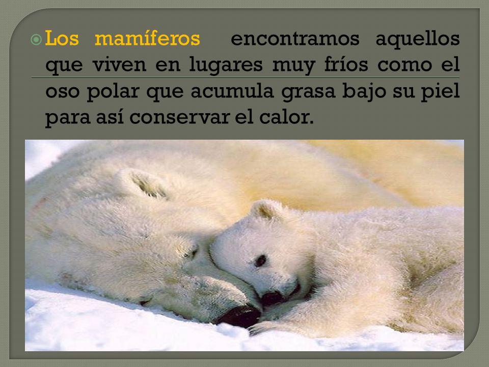 Los mamíferos encontramos aquellos que viven en lugares muy fríos como el oso polar que acumula grasa bajo su piel para así conservar el calor.