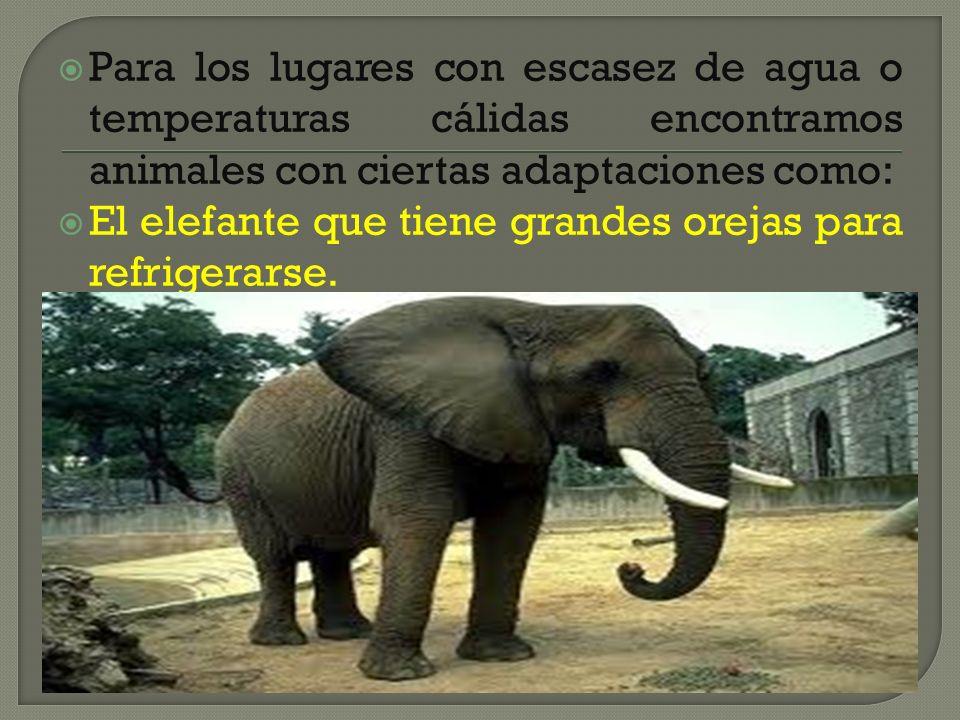 Para los lugares con escasez de agua o temperaturas cálidas encontramos animales con ciertas adaptaciones como: El elefante que tiene grandes orejas p