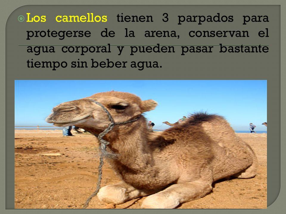 Los camellos tienen 3 parpados para protegerse de la arena, conservan el agua corporal y pueden pasar bastante tiempo sin beber agua.