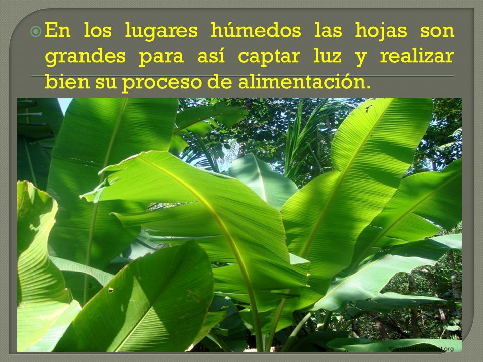 En los lugares húmedos las hojas son grandes para así captar luz y realizar bien su proceso de alimentación.