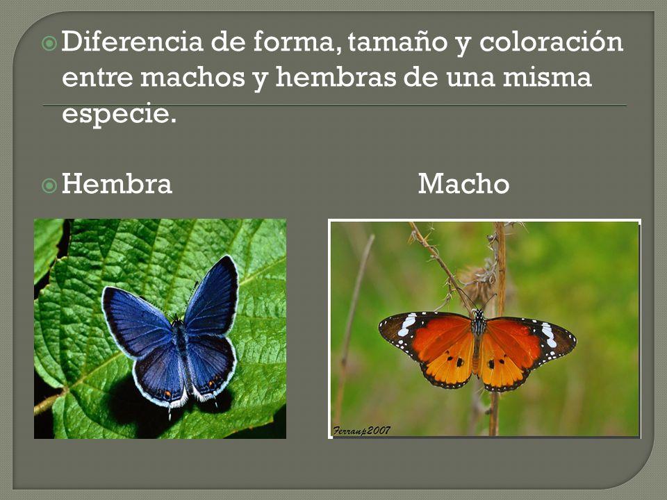Diferencia de forma, tamaño y coloración entre machos y hembras de una misma especie. Hembra Macho
