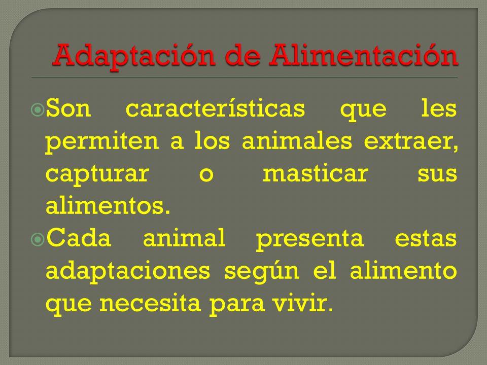 Son características que les permiten a los animales extraer, capturar o masticar sus alimentos. Cada animal presenta estas adaptaciones según el alime