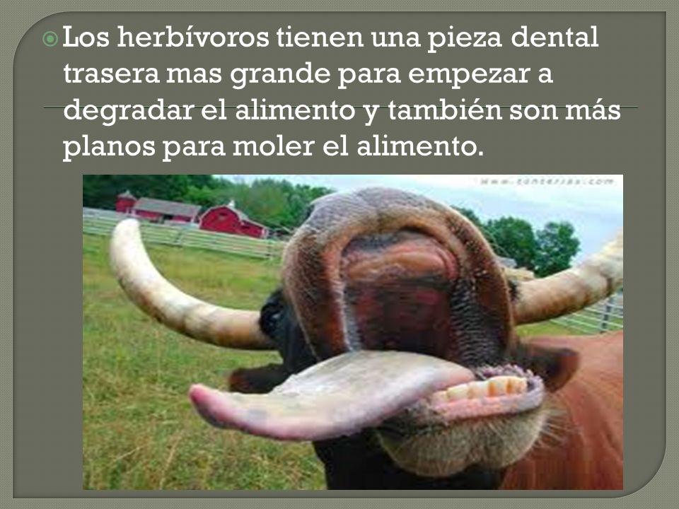 Los herbívoros tienen una pieza dental trasera mas grande para empezar a degradar el alimento y también son más planos para moler el alimento.