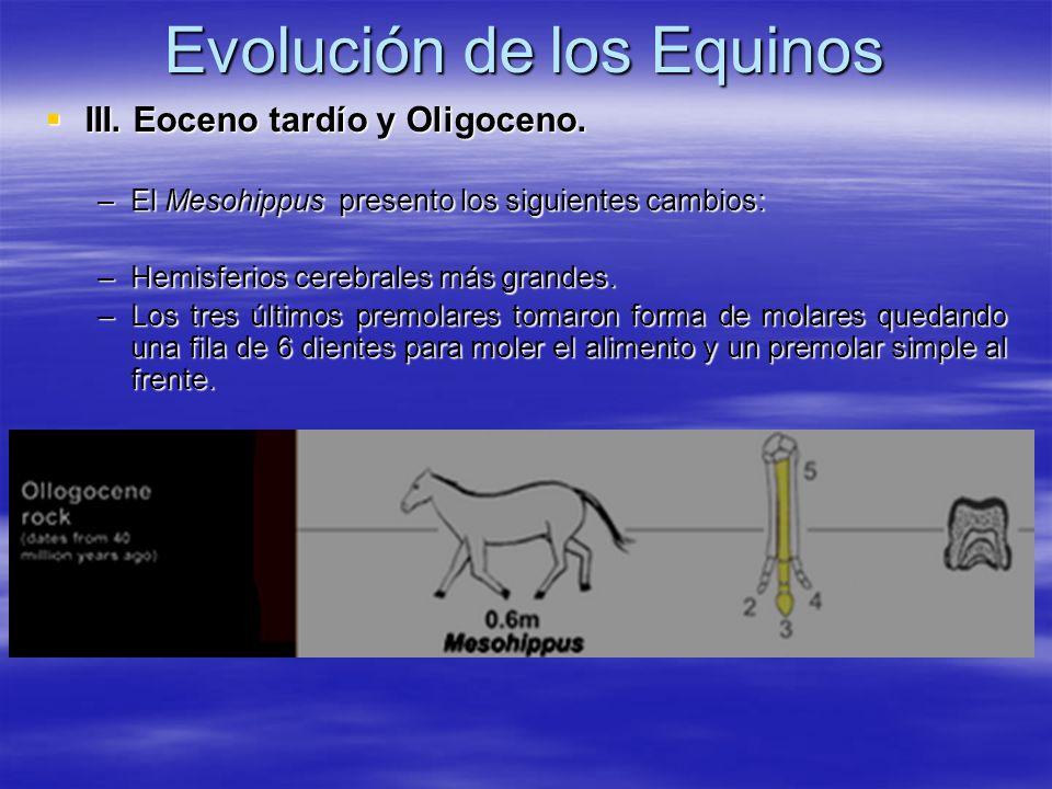 Evolución de los Equinos III. Eoceno tardío y Oligoceno. III. Eoceno tardío y Oligoceno. –El Mesohippus presento los siguientes cambios: –Hemisferios