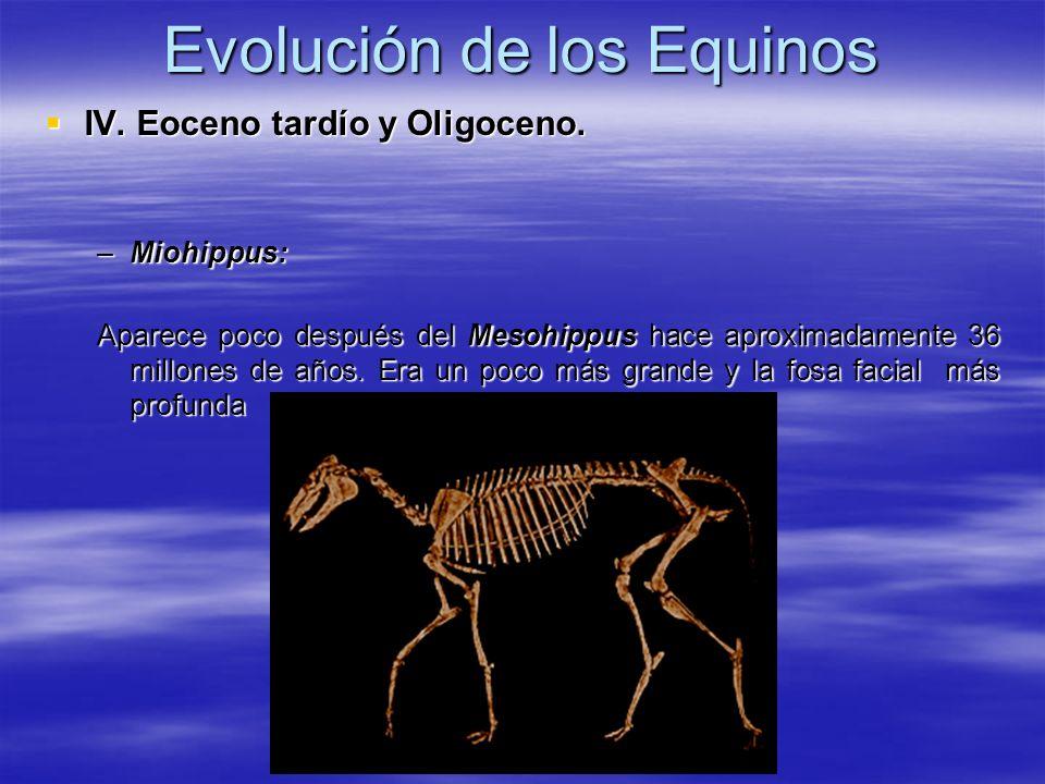 Evolución de los Equinos IV. Eoceno tardío y Oligoceno. IV. Eoceno tardío y Oligoceno. –Miohippus: Aparece poco después del Mesohippus hace aproximada