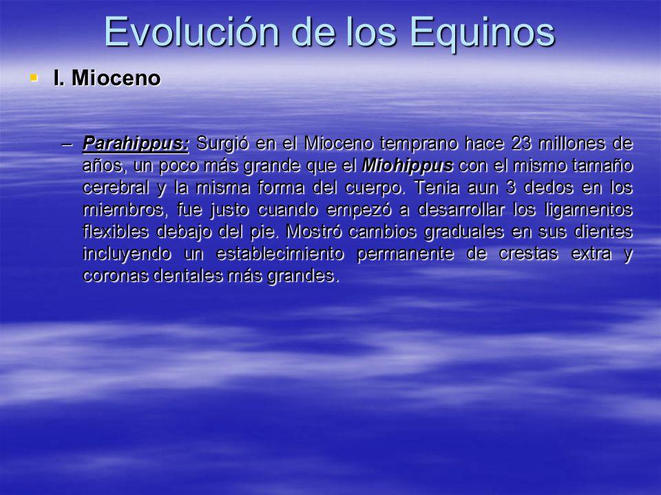 Evolución de los Equinos I. Mioceno I. Mioceno –Parahippus: Surgió en el Mioceno temprano hace 23 millones de años, un poco más grande que el Miohippu