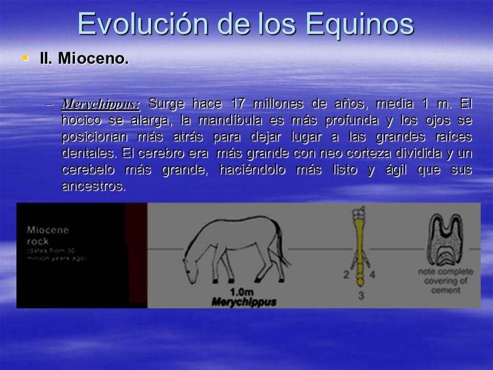 Evolución de los Equinos II. Mioceno. II. Mioceno. –Merychippus: Surge hace 17 millones de años, media 1 m. El hocico se alarga, la mandíbula es más p