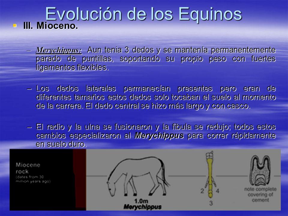 Evolución de los Equinos III. Mioceno. III. Mioceno. –Merychippus: Aun tenia 3 dedos y se mantenía permanentemente parado de puntillas, soportando su
