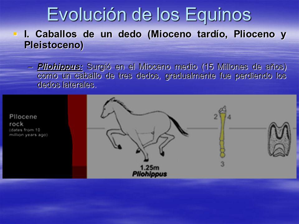 Evolución de los Equinos I. Caballos de un dedo (Mioceno tardío, Plioceno y Pleistoceno) I. Caballos de un dedo (Mioceno tardío, Plioceno y Pleistocen