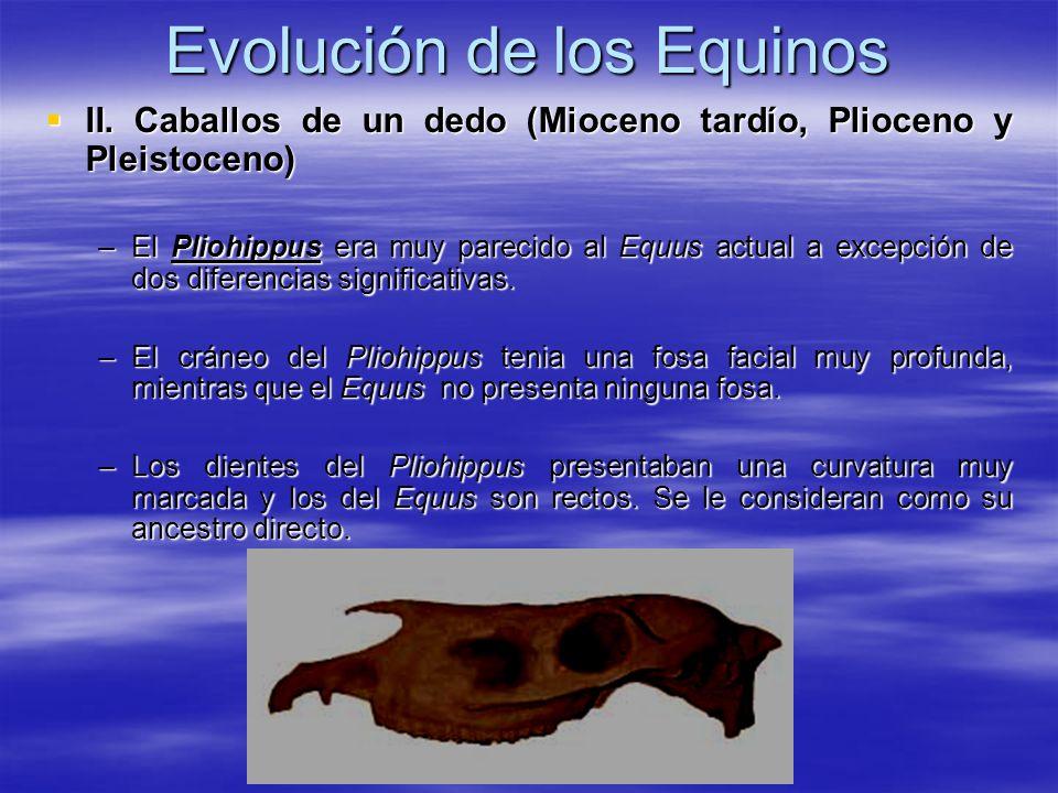 Evolución de los Equinos II. Caballos de un dedo (Mioceno tardío, Plioceno y Pleistoceno) II. Caballos de un dedo (Mioceno tardío, Plioceno y Pleistoc