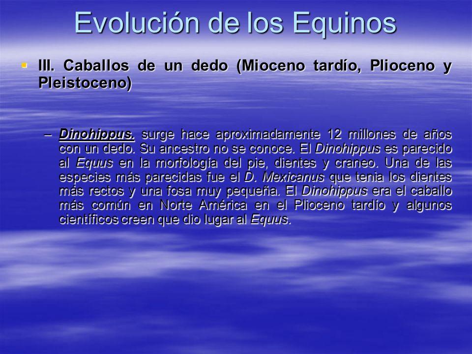Evolución de los Equinos III. Caballos de un dedo (Mioceno tardío, Plioceno y Pleistoceno) III. Caballos de un dedo (Mioceno tardío, Plioceno y Pleist