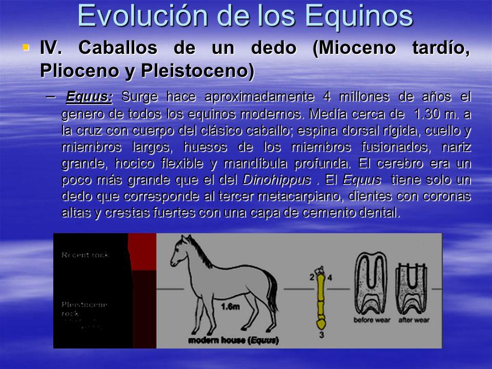 Evolución de los Equinos IV. Caballos de un dedo (Mioceno tardío, Plioceno y Pleistoceno) IV. Caballos de un dedo (Mioceno tardío, Plioceno y Pleistoc