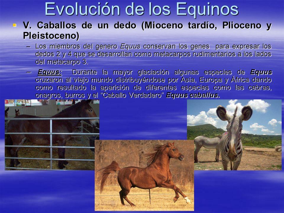 Evolución de los Equinos V. Caballos de un dedo (Mioceno tardío, Plioceno y Pleistoceno) V. Caballos de un dedo (Mioceno tardío, Plioceno y Pleistocen