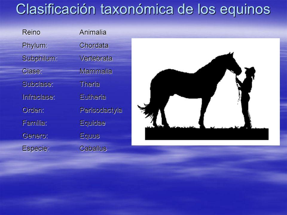 Clasificación taxonómica de los equinos ReinoAnimalia Phylum:Chordata Subphilum:Vertebrata Clase:Mammalia Subclase:Theria Infraclase:Eutheria Orden:Pe